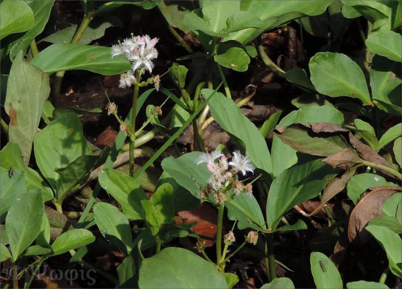 Bog bean,Menyanthes trifoliata