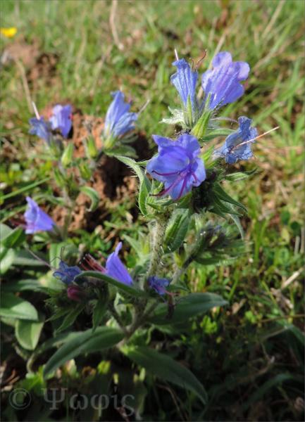 Vipers Bugloss,Echium vulgare