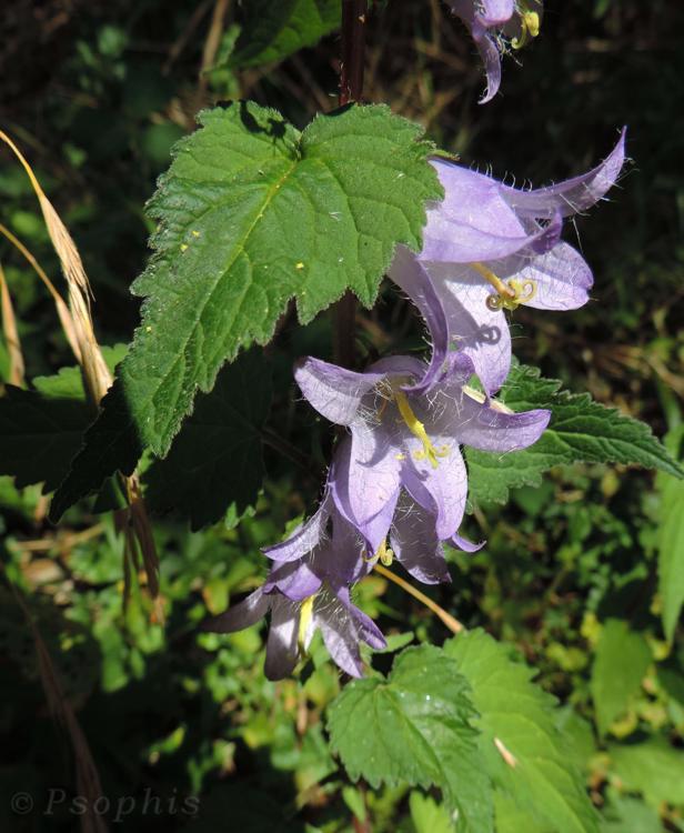 Nettle-leaved Bellflower,Campanula trachelium