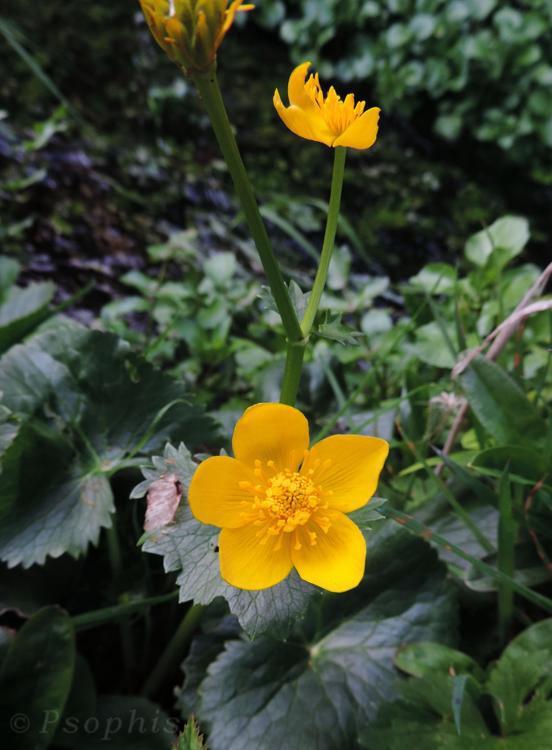 Marsh Marigold,King Cup,Caltha palustris