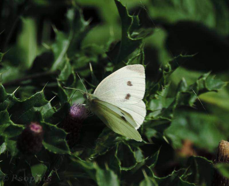 Small White,Pieris rapae