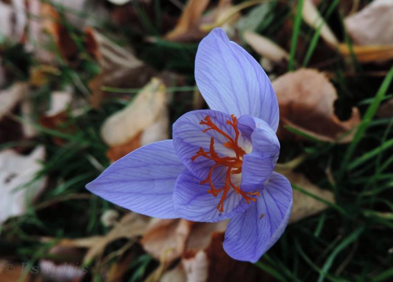 Autumn Crocus,Crocus speciosus