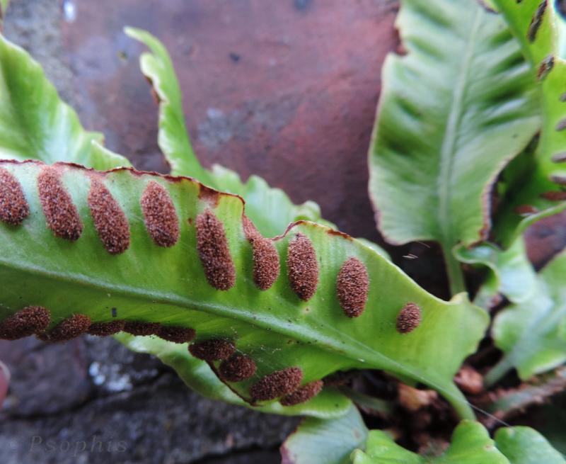 harts tongue fern,Asplenium scolopendrium
