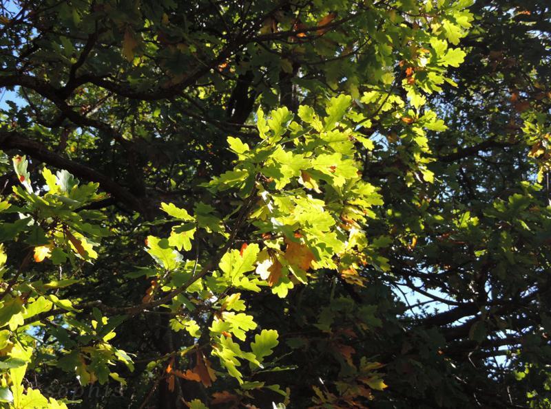 oak leaves