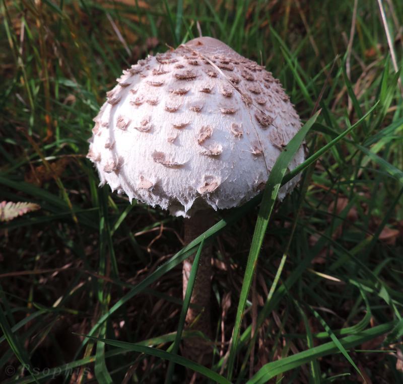 Parasol mushroom,Macrolepiota procera