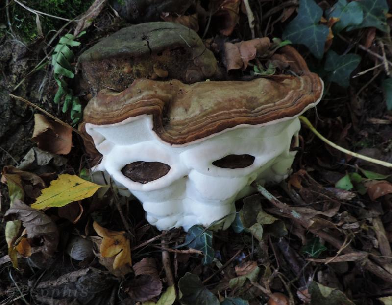 Ganoderma,brakcet fungus