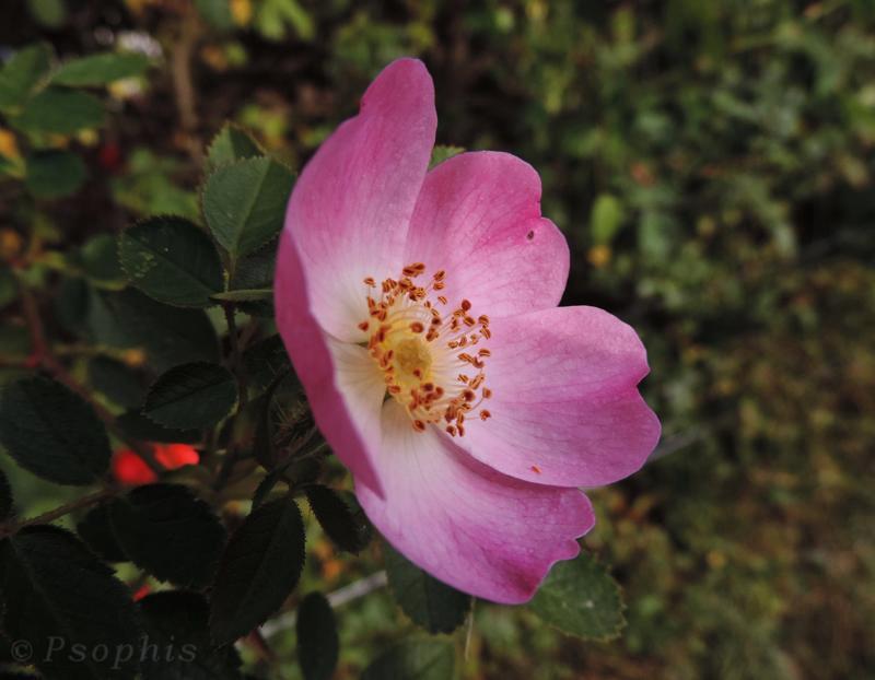 wild rose, dog rose,Rosa Canina