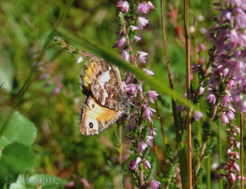 Grayling,Hipparchia semele