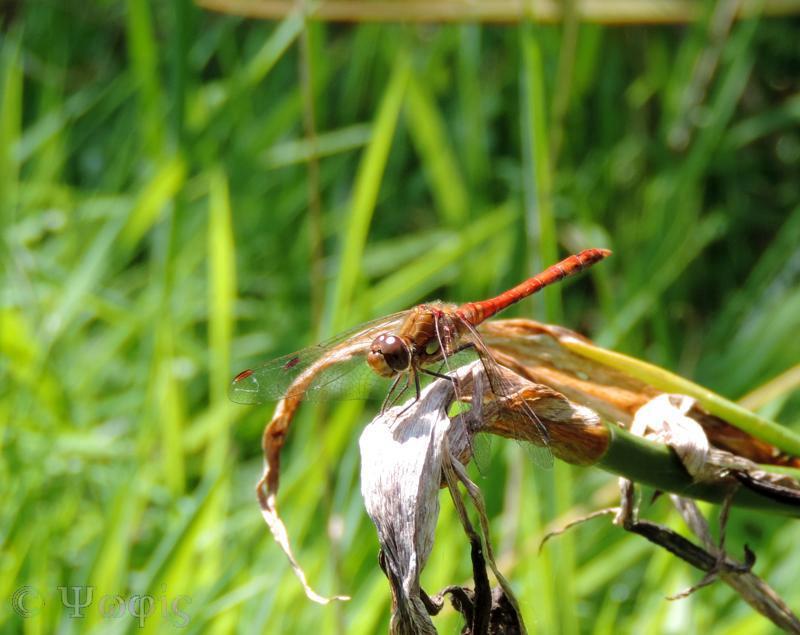 Ruddy Darter,Sympetrum sanguineum