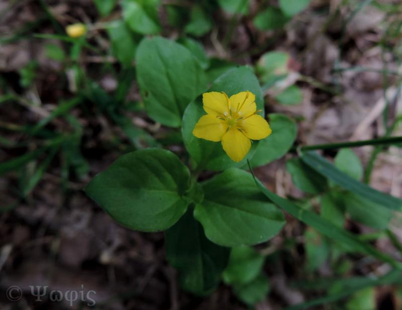 Yellow Pimpernel,Lysimachia nemorum