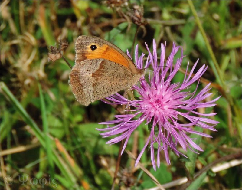 Meadow Brown,butterfly