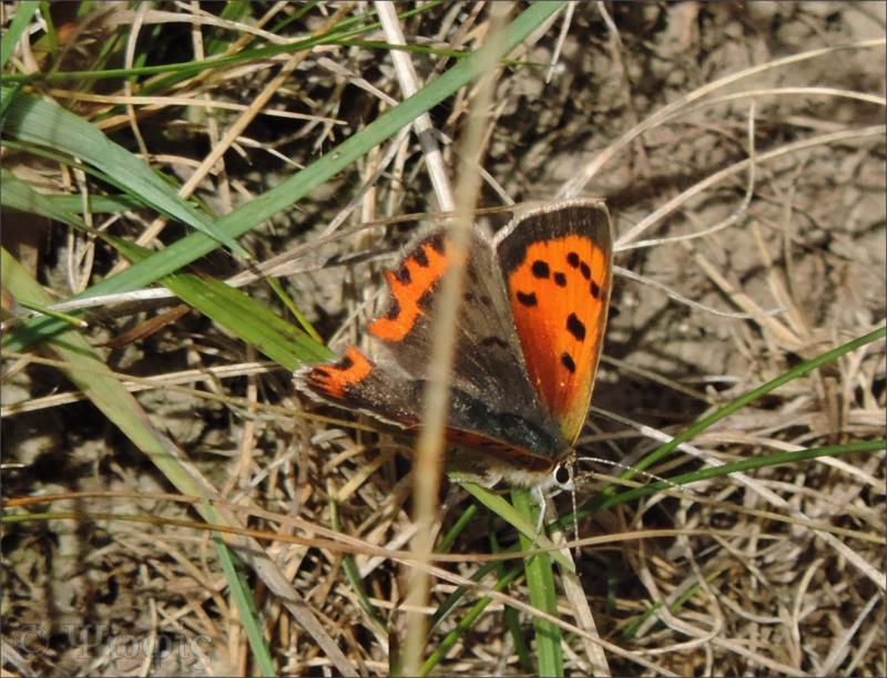 Small Copper, Lycaena phlaeas,butterfly