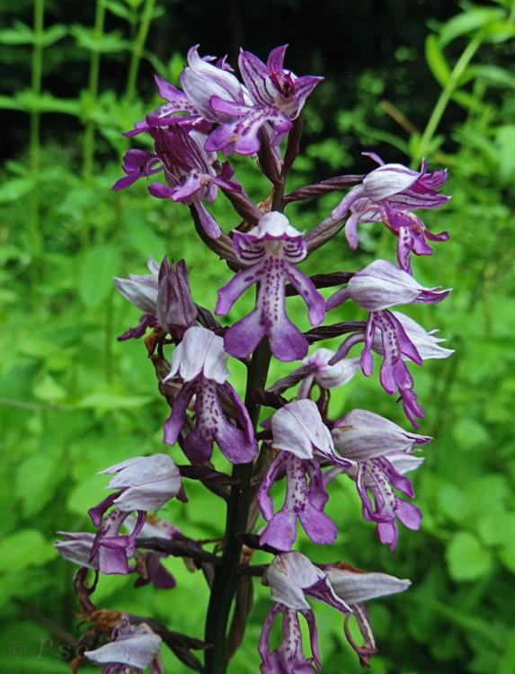 military orchid,Orchis militaris