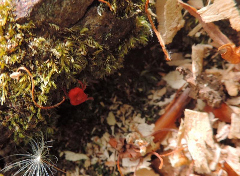 red velvet mite,Trombidiidae