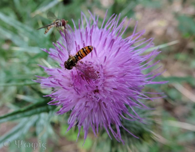 Hoverfly,Sunfly,Helophilus pendulus
