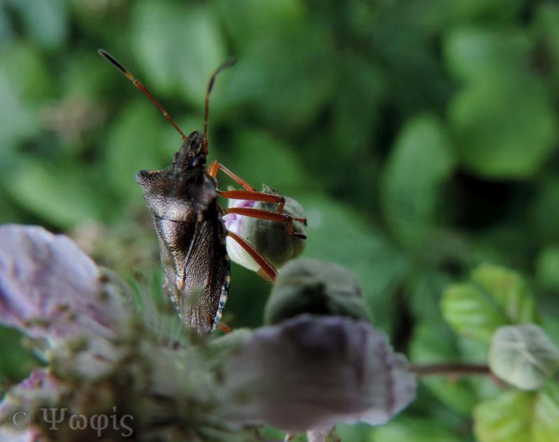 Red-legged Shieldbug,Pentatoma rufipes