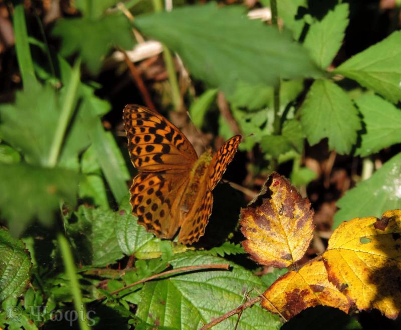 butterfly, Silver washed fritillary,female