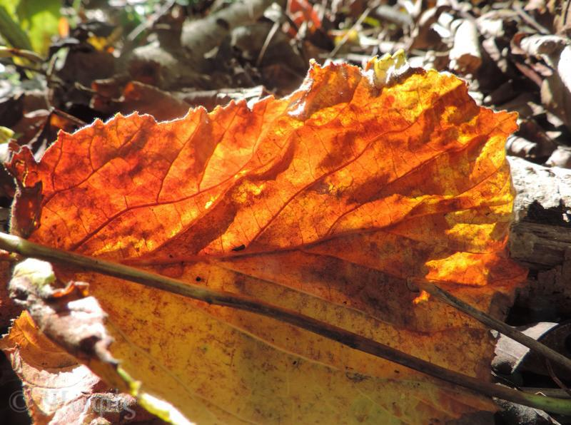 autumn beech leaf
