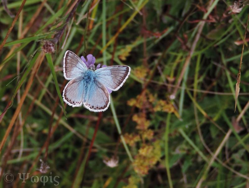 Chalkhill blue butterfly,butterly