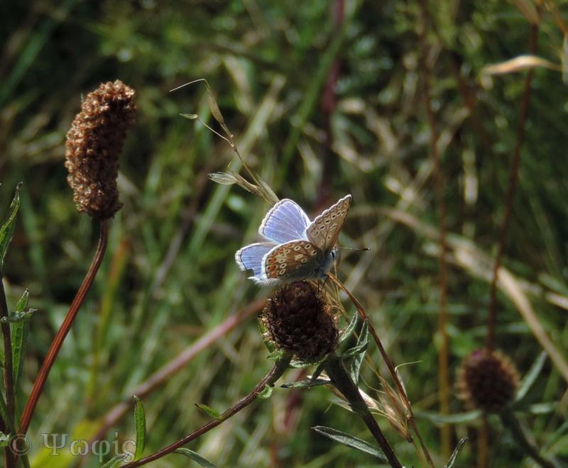 Common blue butterfly,butterly,male