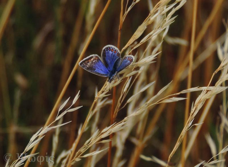 Common blue butterfly,butterly,female