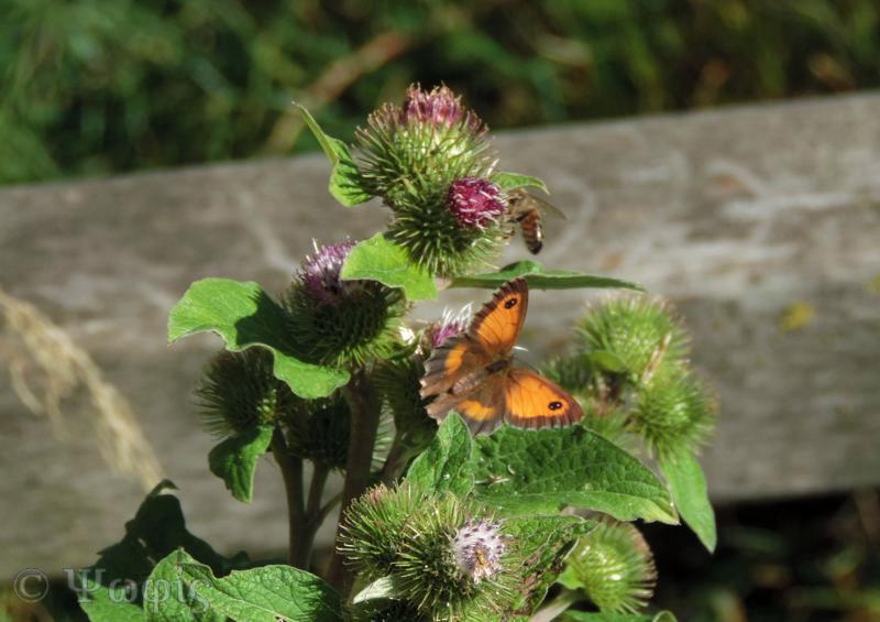 gatekeeper on burdock,butterfly
