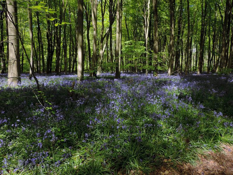 bluebells,West Wood