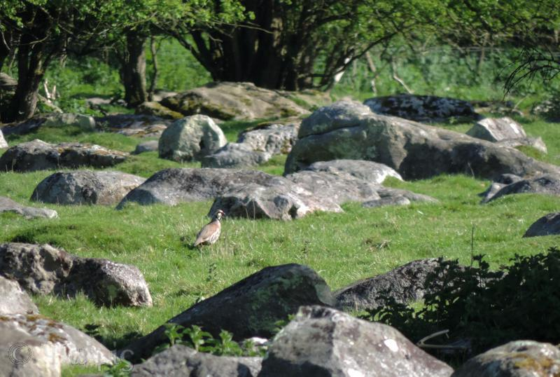 partridge,grey wethers