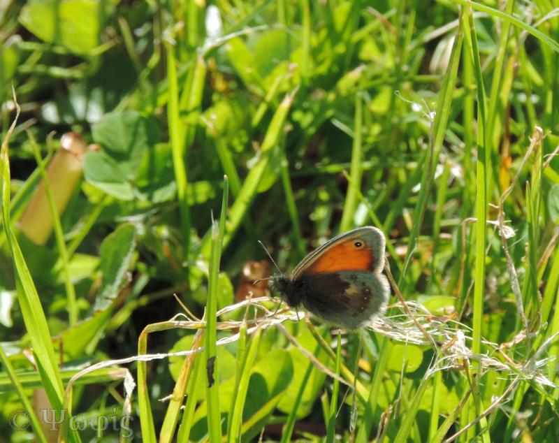 Small heath butterfly,butterfly