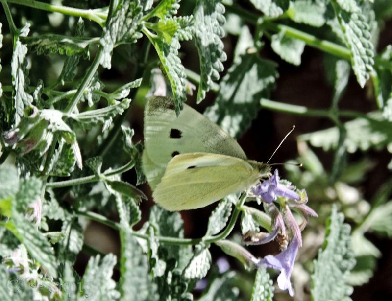 large white butterfly,butterfly