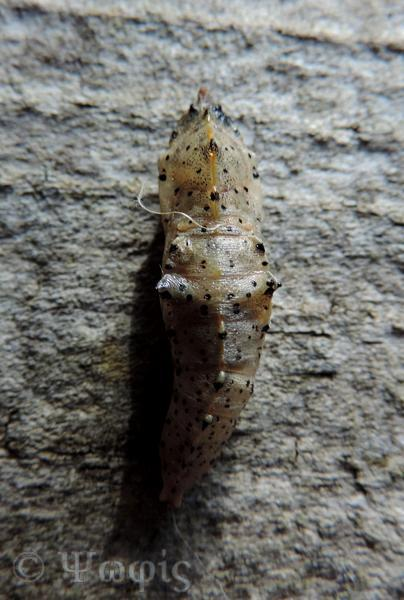 large white butterfly,chrysalis