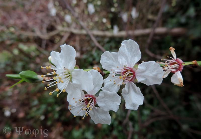 blackthorn,flower
