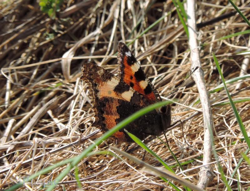 small tortoiseshell,butterfly