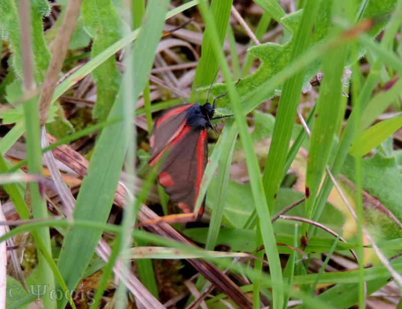 Cinnabar moth,Tyria jacobaeae