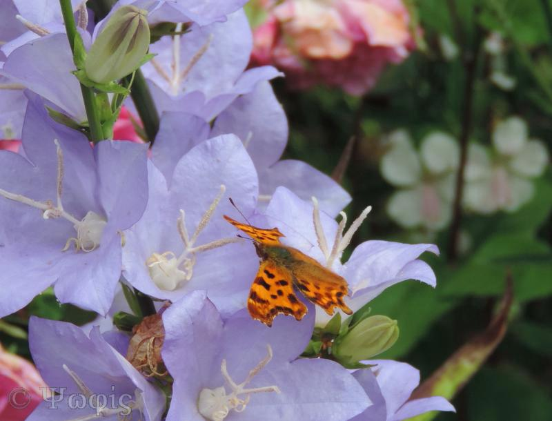 comma,butterfly