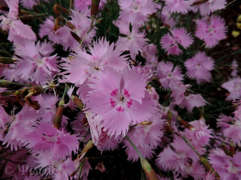 pink,dianthus