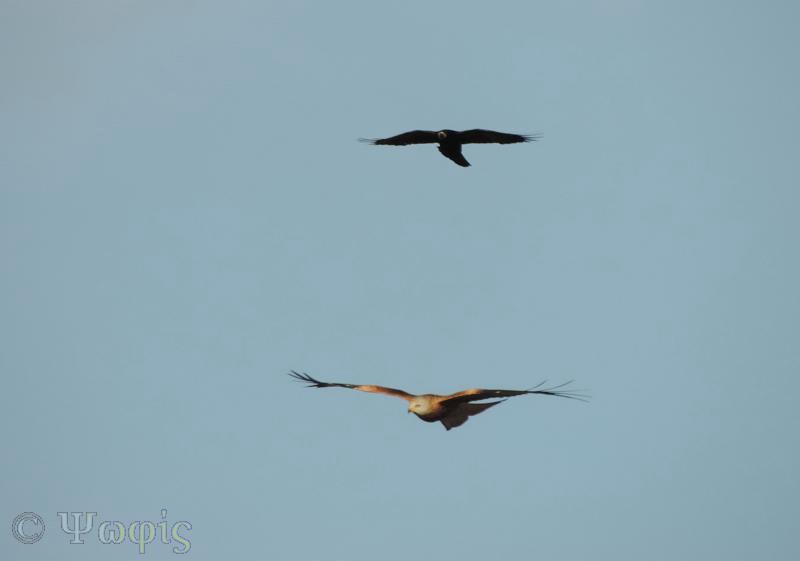 crow,kite