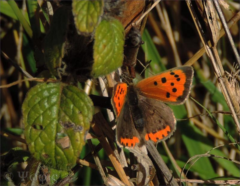 butterfly,small copper