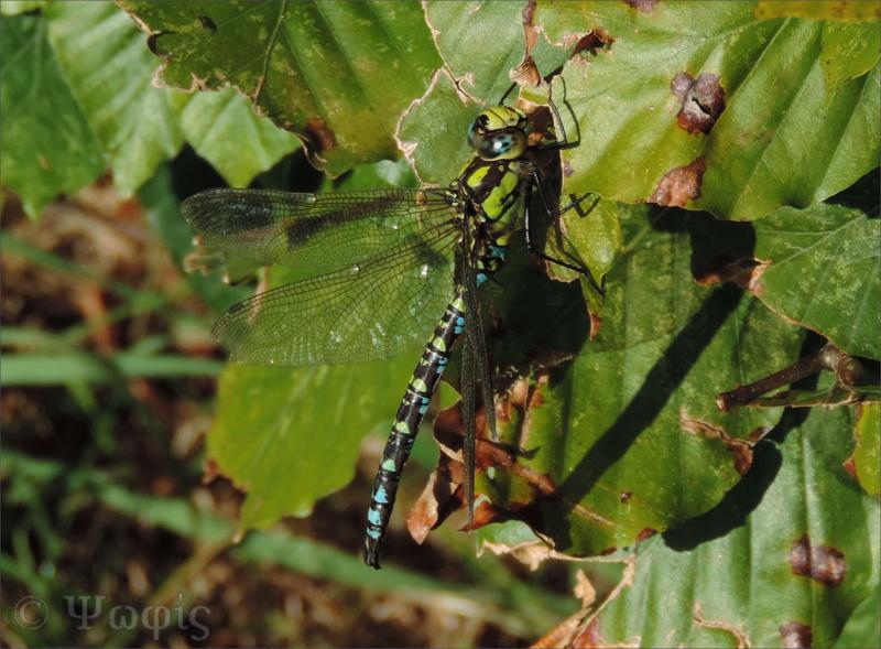 dragonfly,southern hawker
