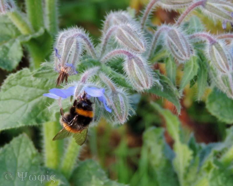 borage,Borago officinalis
