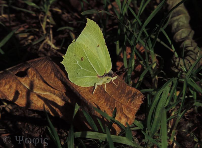 brimstone,Gonepteryx rhammi