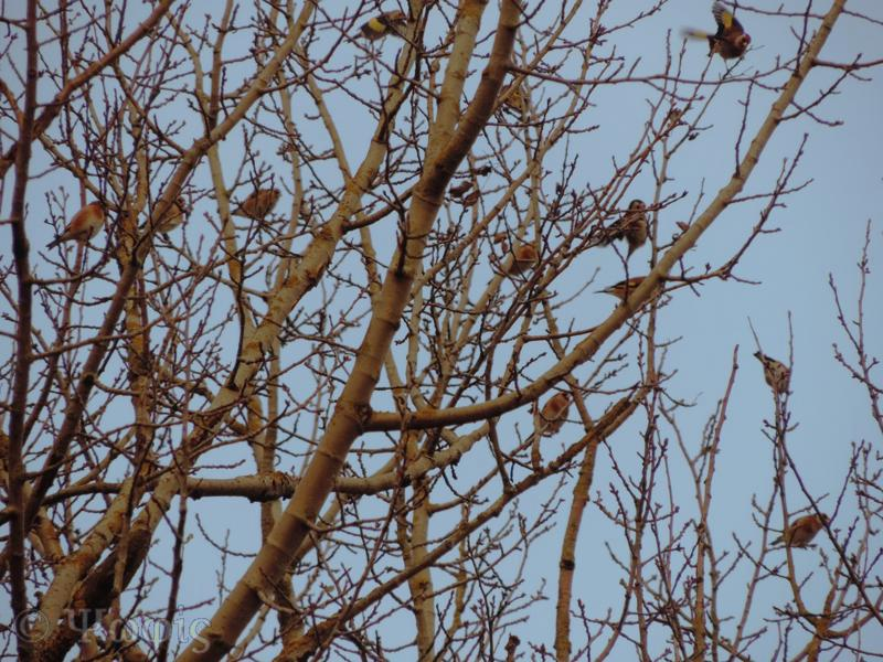 charm of goldfinches