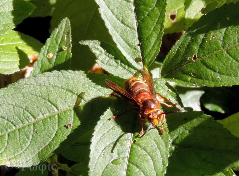 hornet,Vespa crabro