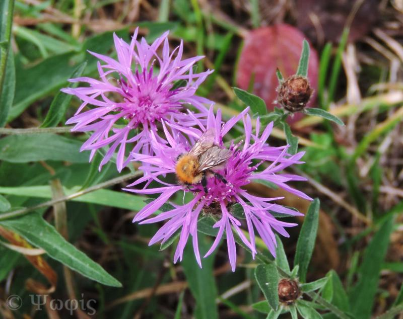 knapweed,carder bee