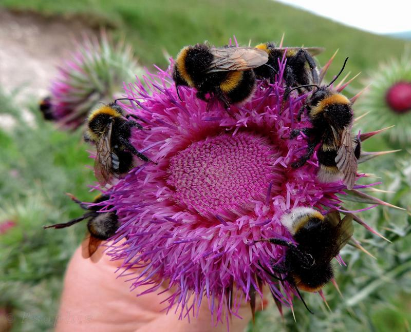 nodding thistle,bumblebee
