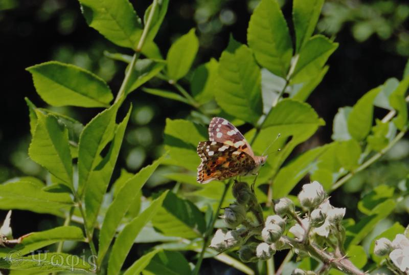 Painted Lady,butterfly