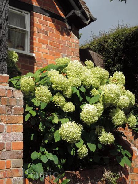 Shalbourne,hydrangea,cottage