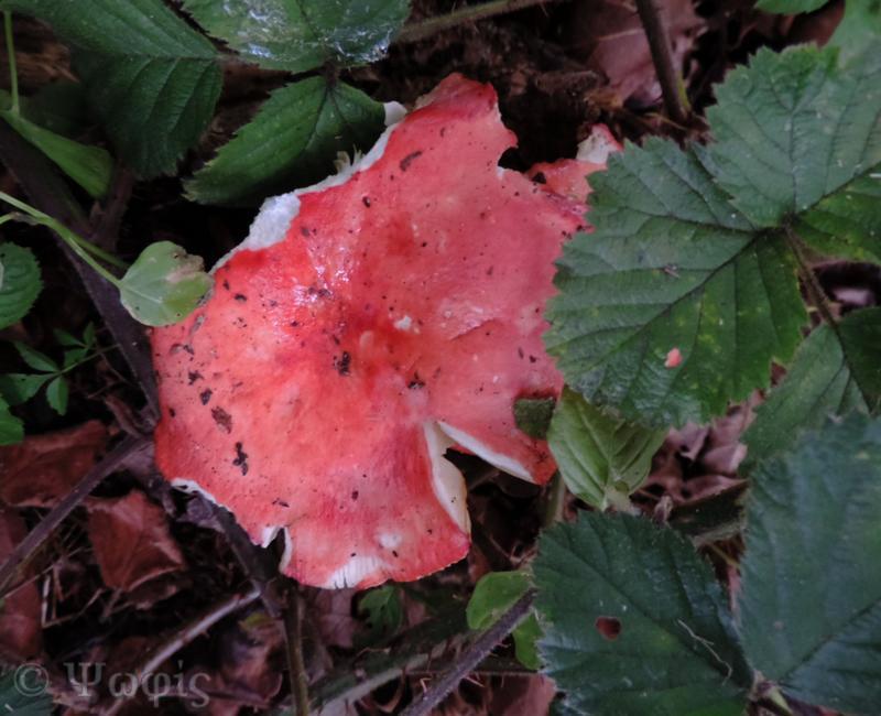 Russula,fungi