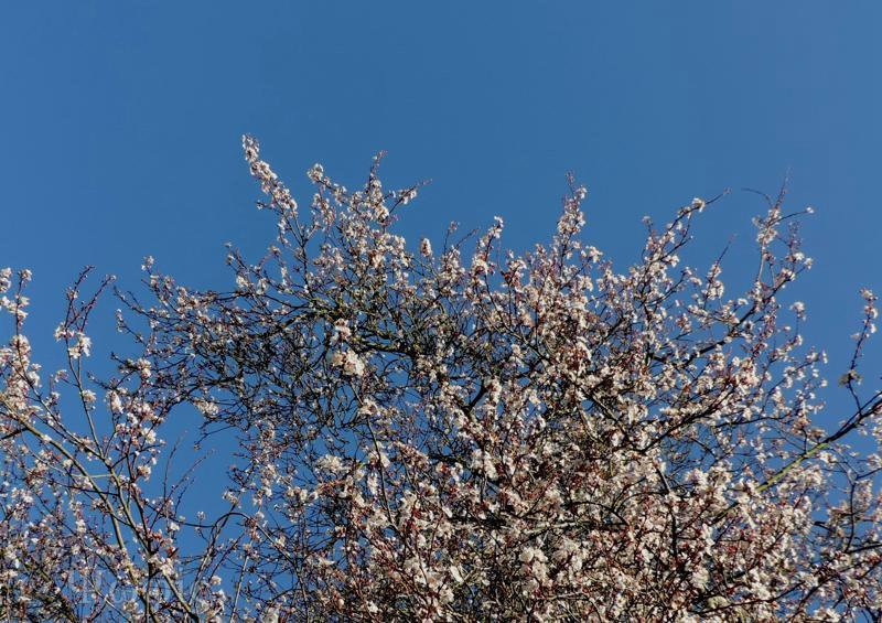 cherry plum, blossom