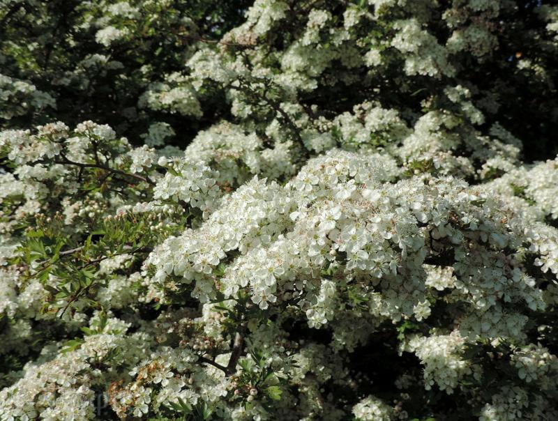 Hawthorn,May flowers